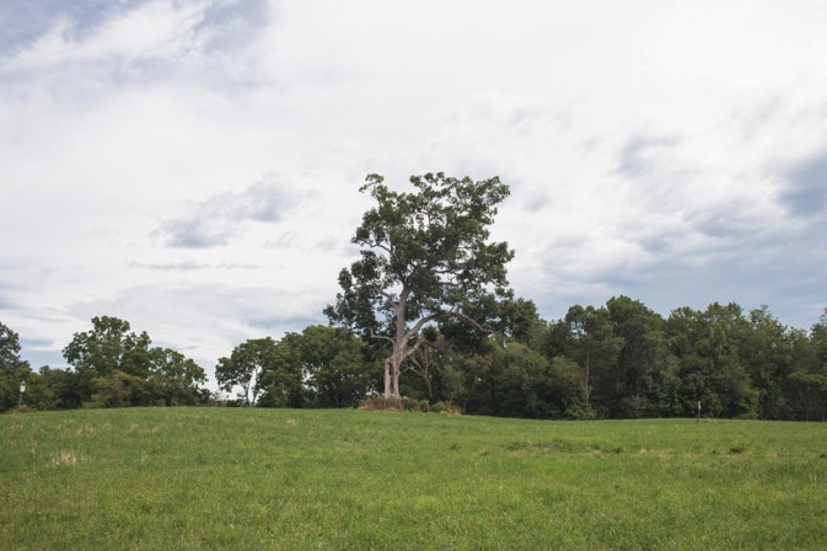Drzewo ze Skazanych na Shawshank (zdjęcie Nick Fancher) - obrazek