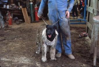 Labrador w stroju Cujo - obrazek